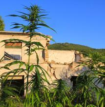 Il verde che vorrei: piante di canapa tra le macerie