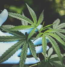 Aspectos medicinales del congreso de Cannabis