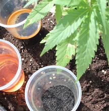 Biofertilizantes en el cultivo de marihuana