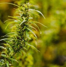 ¿Cómo Ocultar el Olor de Tu Cultivo de Marihuana?