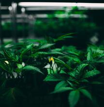 Controla la polución de la luz en el cultivo de cannabis.