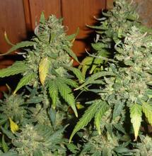 Consultation citoyenne sur le cannabis : les propositions de Soft Secrets France
