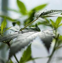 Costa Rica regulará cáñamo y cannabis medicinal