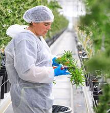 Un nouveau Comité scientifique sur le cannabis médical créé par l'ANSM