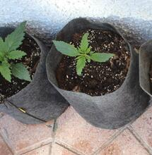 Genética de la marihuana