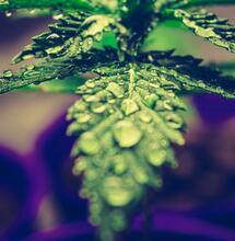 LED osvětlení pro pěstování rostlin a teplota