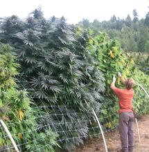 Cannabis-Grower
