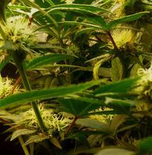 Des scientifiques italiens découvrent deux nouveaux cannabinoïdes