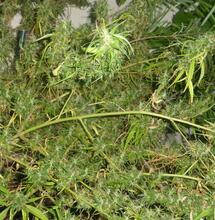 Le débat sur la taxonomie du cannabis