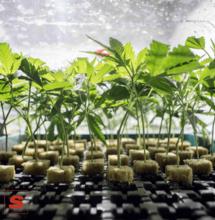 Cannabis legale. Più di 200.000 posti di lavoro in Usa nel 2018