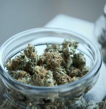 Cime di marijuana: come riconoscere quelle di buona qualità. Ne parliamo con Giuseppe Nicosia