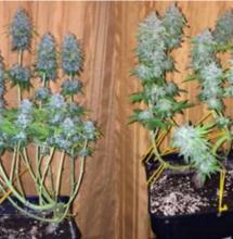 Cultivo arbustivo de marihuana.