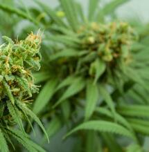 cannabis plants with big buds.