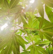 foliage of cannabis plants.