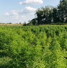Tecnología agrícola para el cultivo de cáñamo