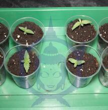 Gli errori comuni nella fioritura di cannabis