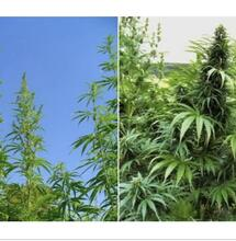 Hemp and Cannabis, what's the difference?