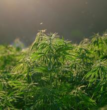 hemp plantation, industry and business in Africa.
