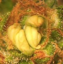 Marihuana hermafrodita.