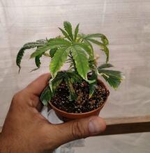 Variedades de marihuana resistentes a los hongos