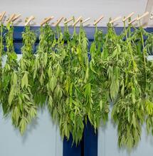 Coltivazione domestica di cannabis: i risultati del questionario internazionale