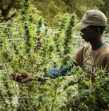 Konopí jako nové multi-miliardové odvětví v Africe