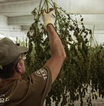 """What to Do with Cannabis Harvest """"Waste"""" Material?"""