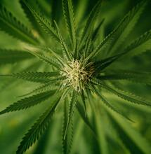 Mexico Supreme Court Rules Current Marijuana Prohibition Unconstitutional
