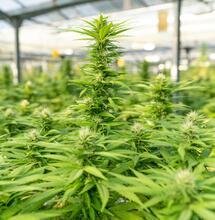 Největší marihuanové farmy v Británii