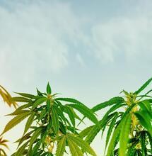 Tips and Tricks on Growing Vigorous Amnesia Haze Plants