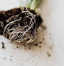 Going back to your 'roots' with Mycorrhizae.