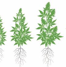 Cómo potenciar la raíz del cannabis.