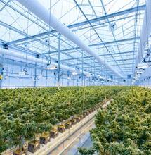 La Germania completa con successo il suo primo raccolto di cannabis medica