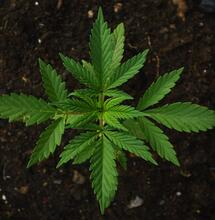 Different Types of Natural Fertilizers for Cannabis Plants
