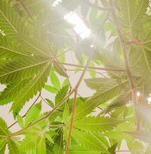 Reflectores para marihuana de interior.