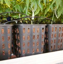 pots of cannabis plants