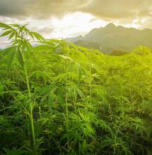 Asia e cannabis: il mercato del futuro