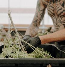 Zaměstnanost v marihuanové branži roste navzdory recesi