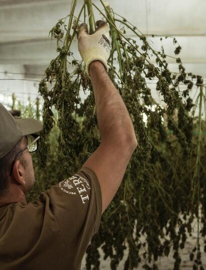 Cultivator checking up harvested hanging dry cannabis plants.
