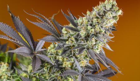 Como abonar NPK para cannabis. Foto: Sweet Zkittlez (SWS84) de Sweet Seeds.