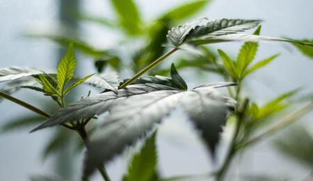 Costa Rica muy cerca de regular cáñamo y cannabis medicinal.