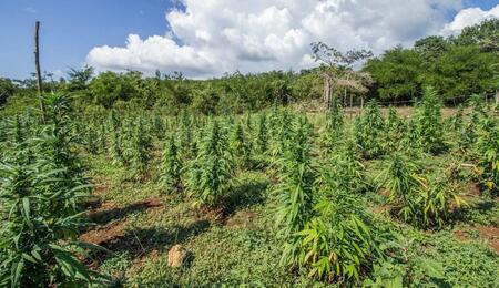 cbd konopí marihuana rozdíly