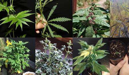 Les mutations ou la perpétuelle évolution du cannabis