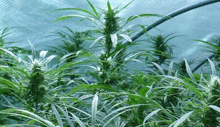 Une nouvelle proposition de loi pour la légalisation du cannabis