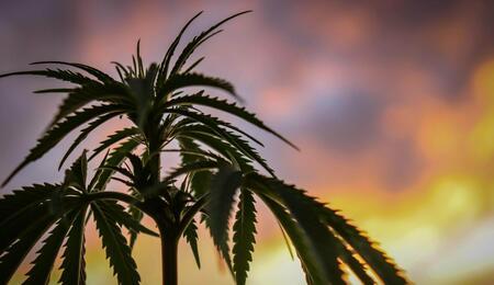 cannabis plant against a sky backdrop.