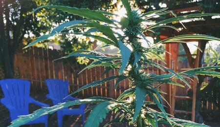 cannabis garden.