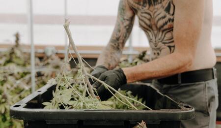 man working in a cannabis farm.