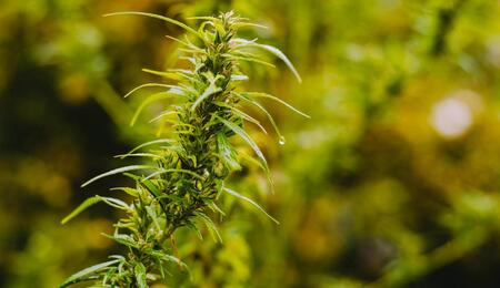 cannabis outdoor garden.