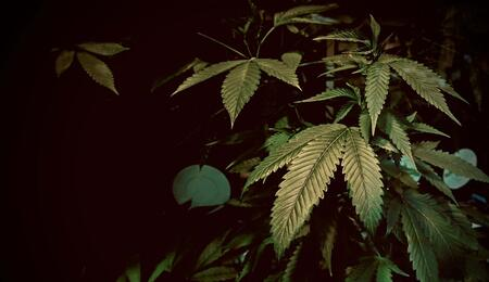 cannabis leaves where some deficiency is visible.