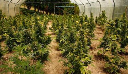 Cómo cultivar marihuana en invierno y tener una gran cosecha de primavera.